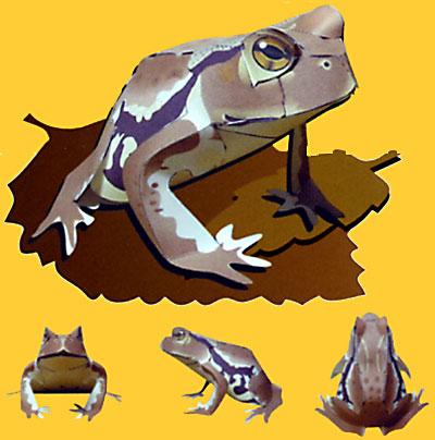 ニホンヒキガエルの画像 p1_14